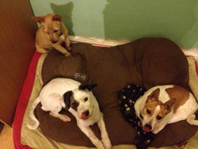 Patches(jack russell) from NWSPCA, Belle(smallest) from Carlow/Kilkenny pound & Phoebe, found in dreadful condition in the Phoenix Park.