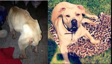 Romeo (before Dec 2012 when he was found Straying) and Romeo Summer 2013 after being rehome to Laura